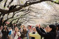 Picturing cats during Hanami in Ueno Park(#3319)